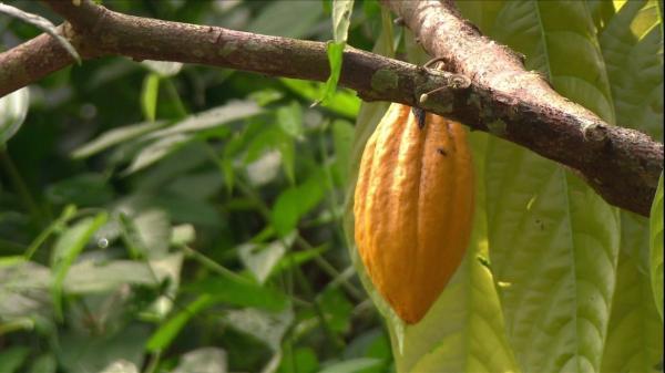 Plano Operacional para o Cacau e Chocolate será lançado no Litoral Sul baiano