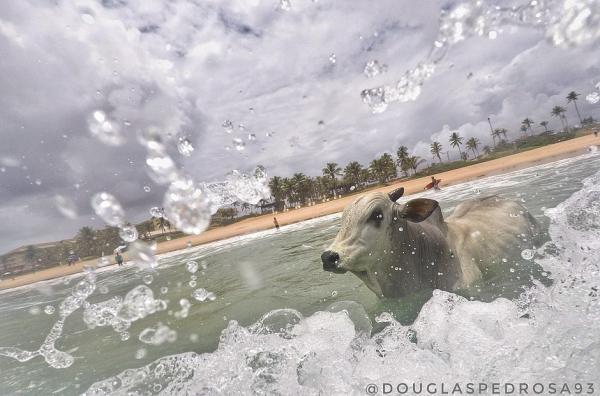 Boi foge da Fenagro, some por cinco dias e morre afogado no mar
