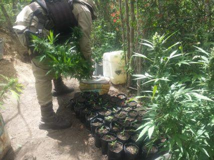 Policiais descobrem plantação de maconha em Seabra