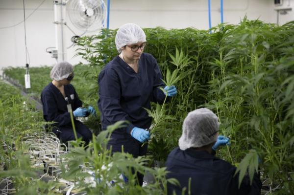 Anvisa libera e Brasil terá venda de remédios a base de Cannabis em farmácias