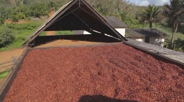 Produção de cacau cresce em 5%, diz IBGE