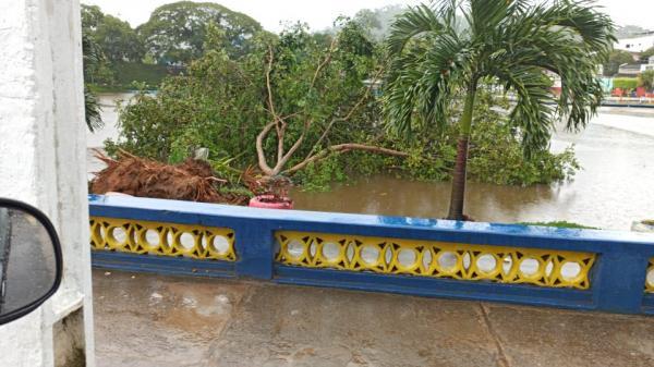Árvore é arrancada pela raiz em Gandu, durante temporal