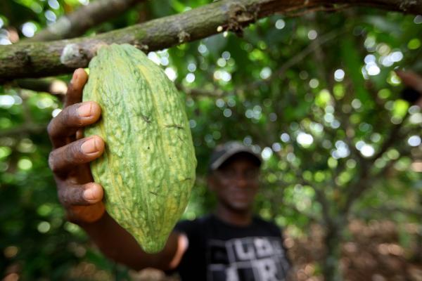 Ameaça à produção do cacau na América Latina se aproxima do Brasil